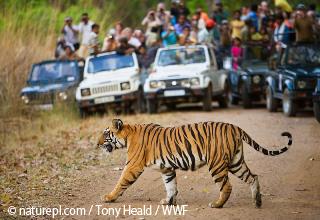 インドのトラ2.jpg